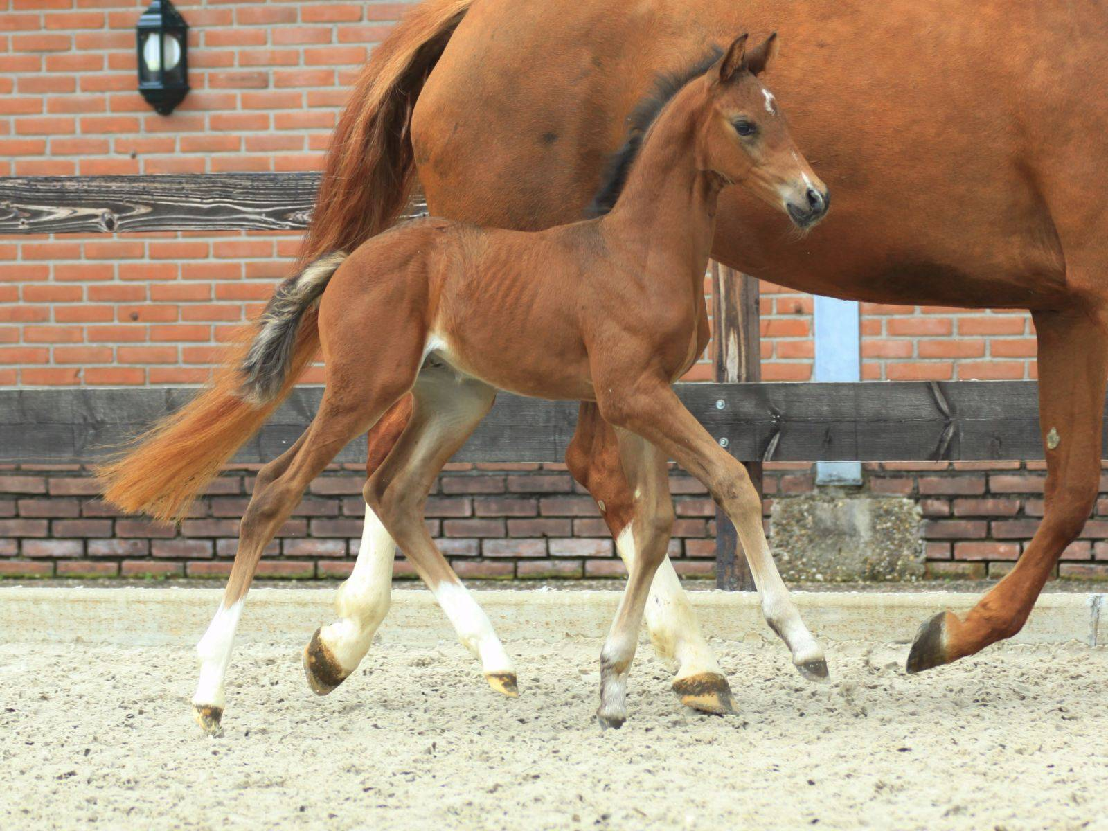 Filly Foal For Sale Younstock Holland