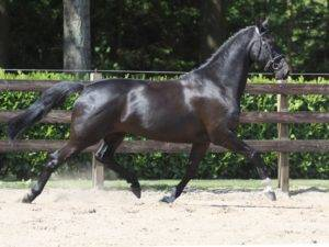 Dutch Warmblood Dressage Horses For Sale