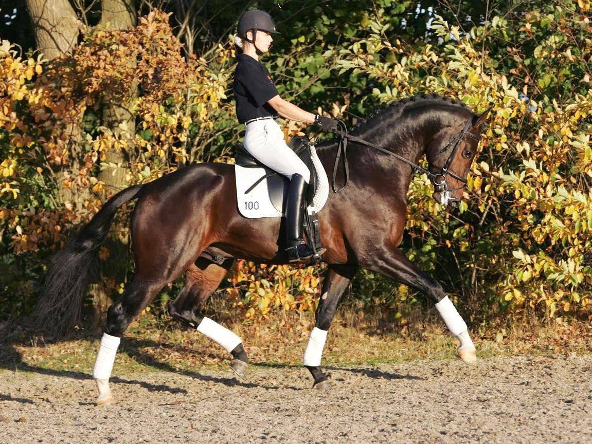 Warmblood Dressage Horses For Sale