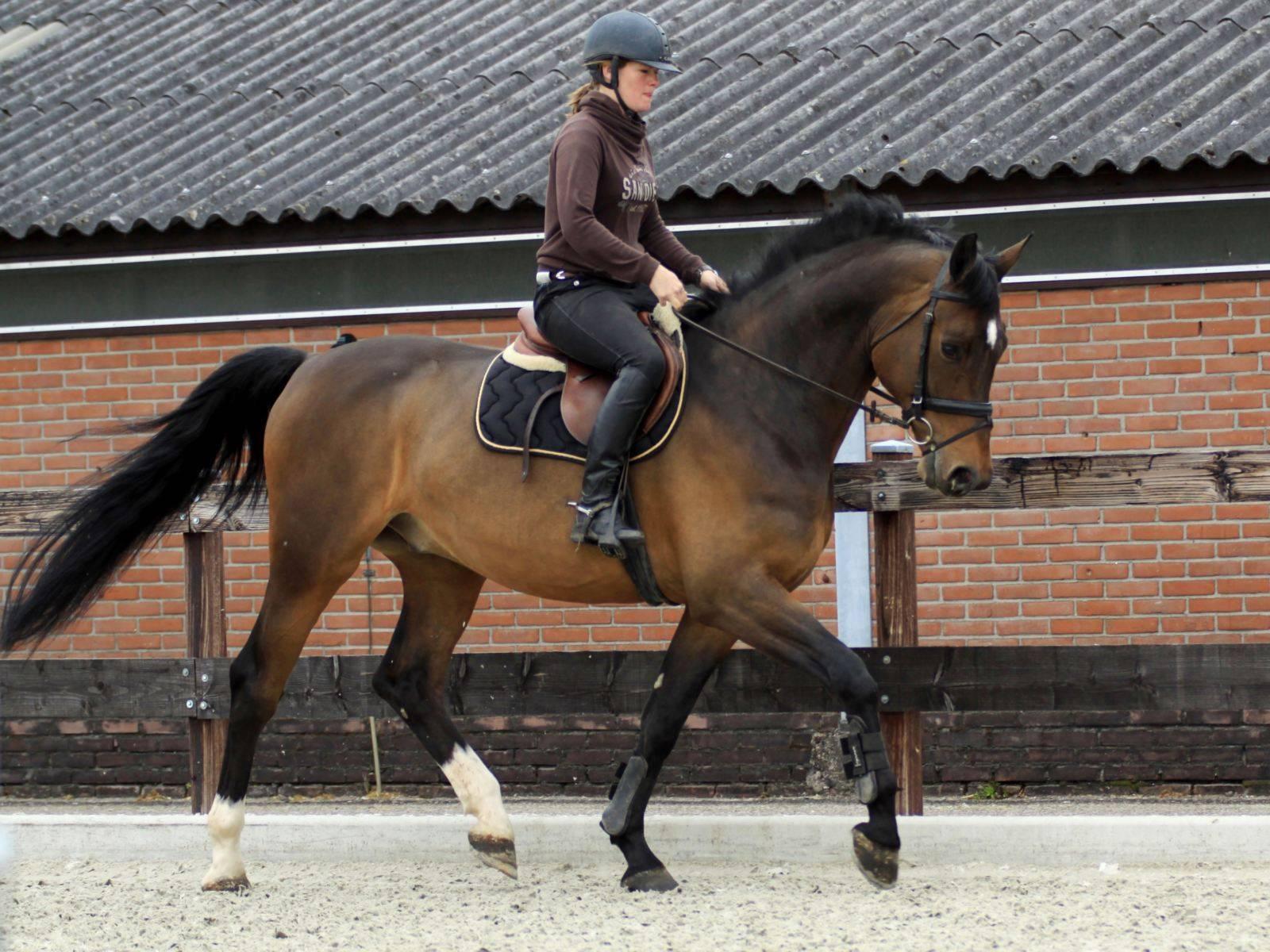 Dressage Horse UK