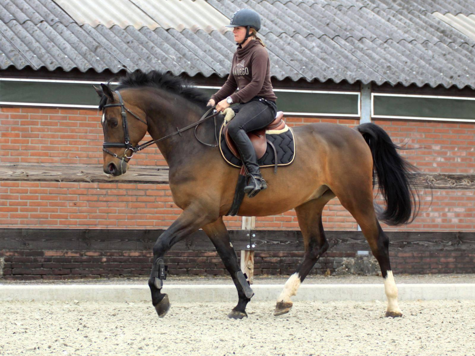 Dressage Horses England