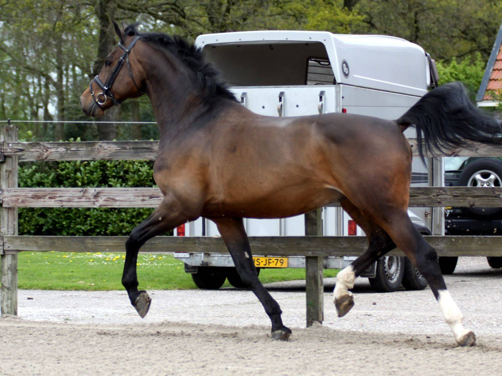 Dressage Stallion UK