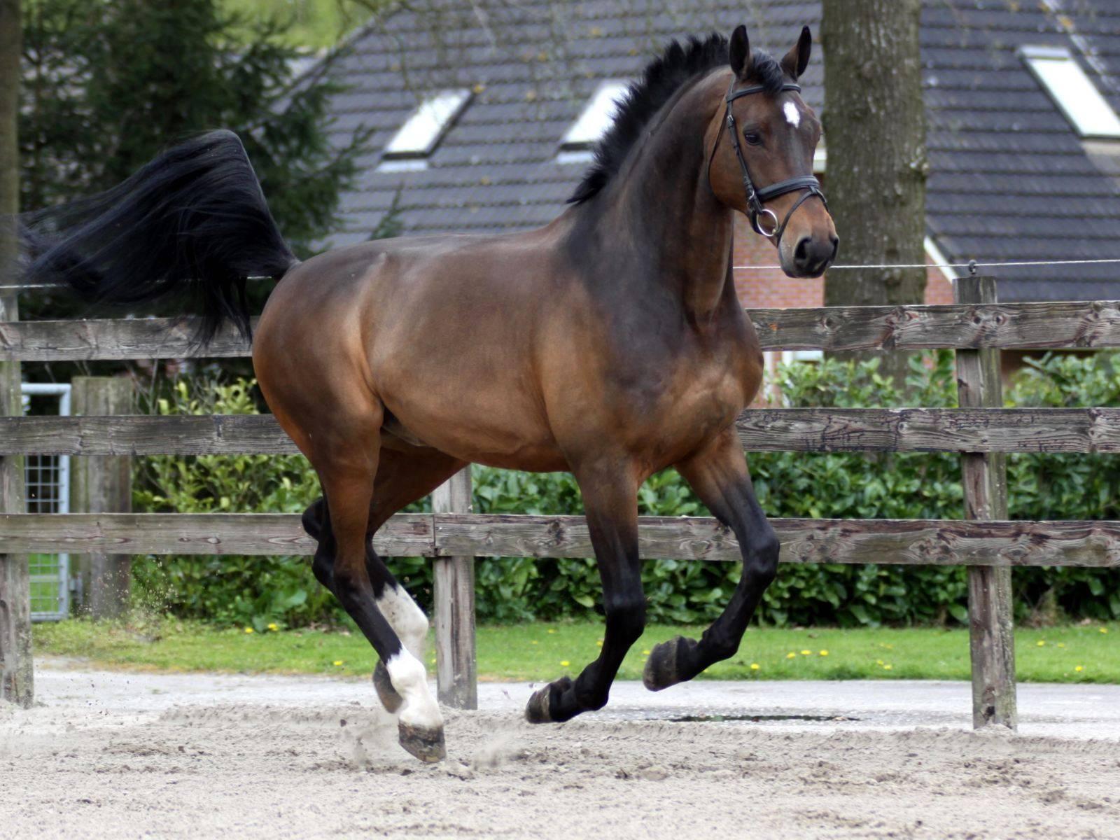 Dressage Horse England