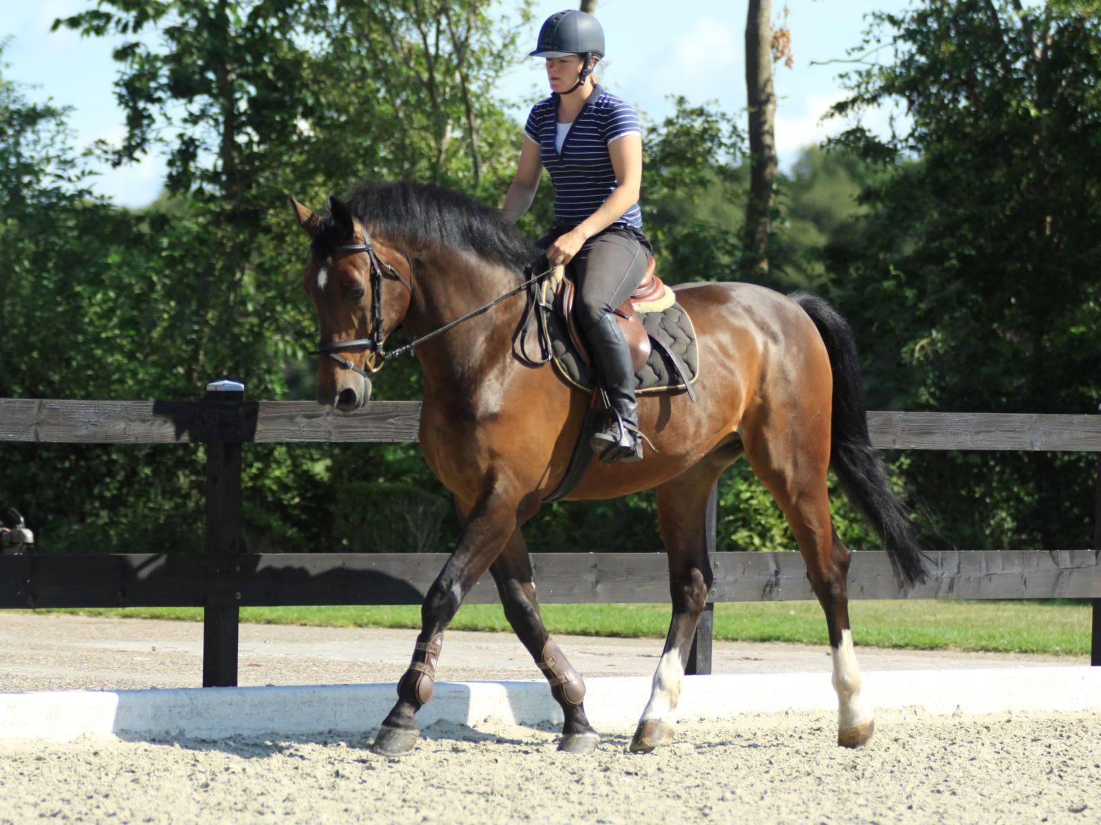 Amigo Gelding Horse