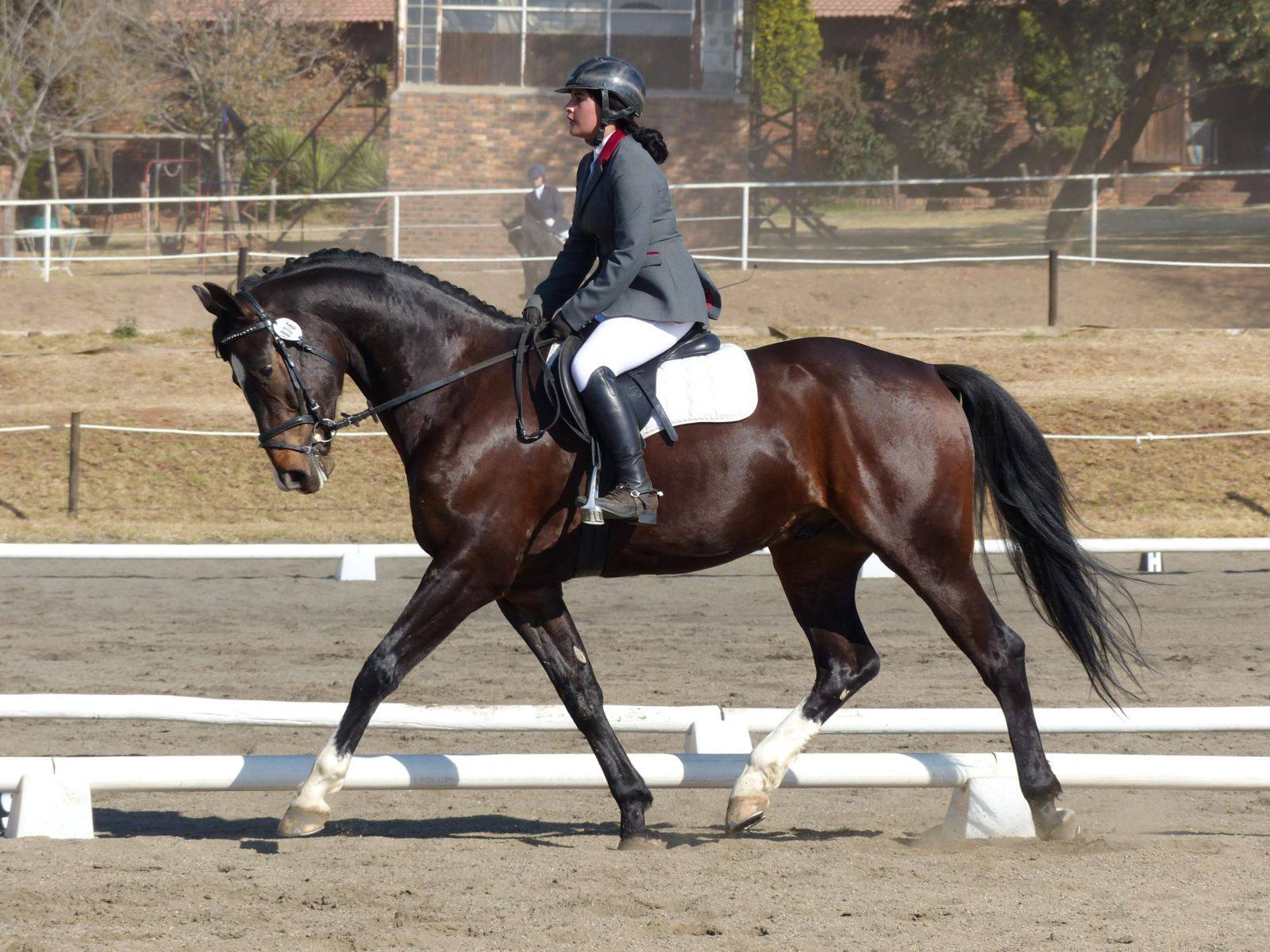Dressage Stallion for Sale South Africa