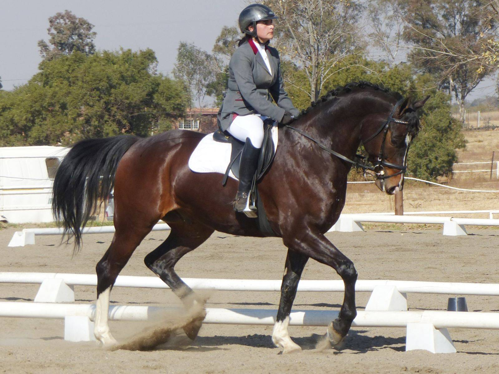 Dressage Gelding for Sale South Africa