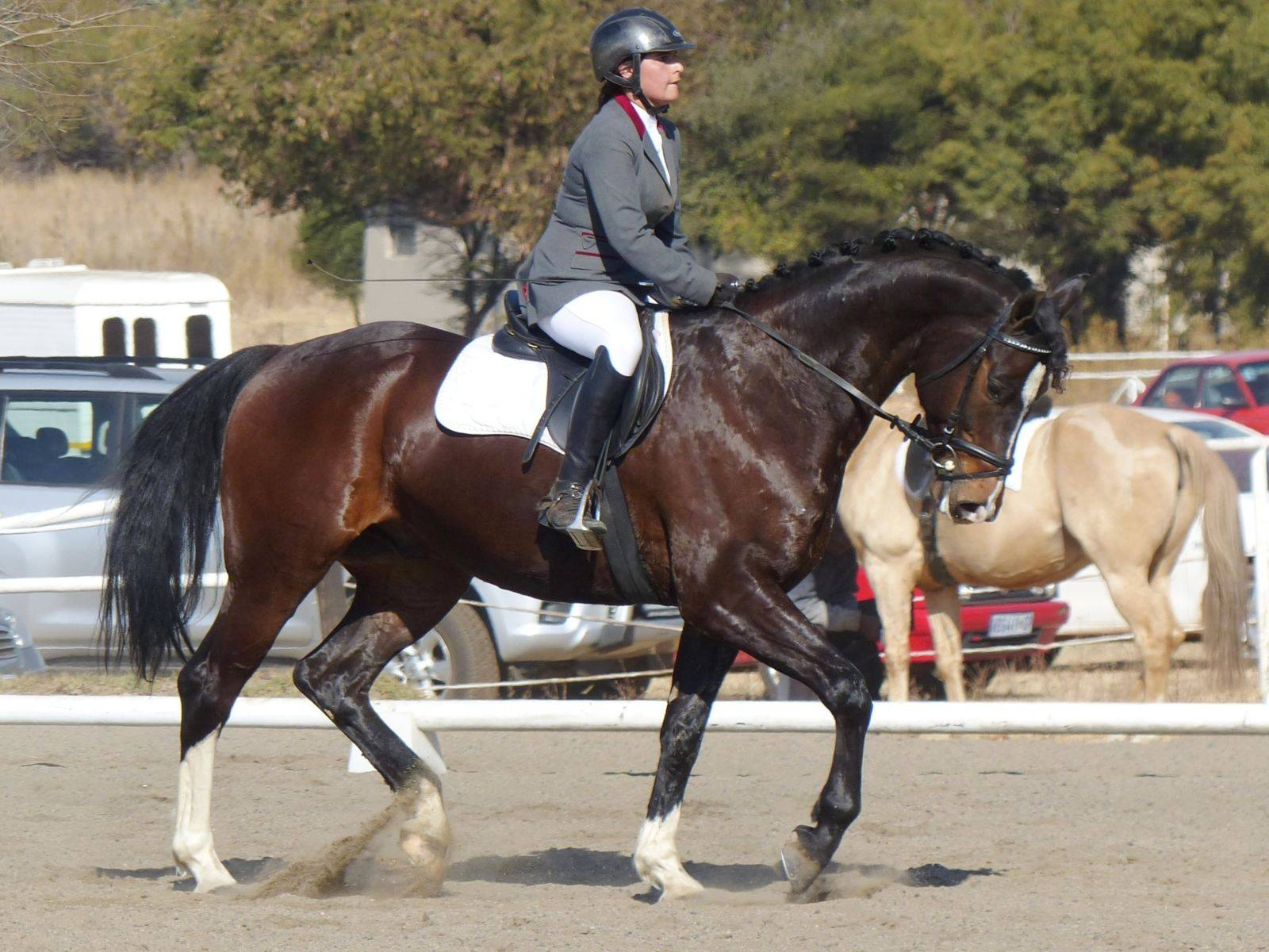 Dutch Dressage Horses for Sale