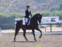 Warmblood Dressage gelding Koal Cindi Emily Lasher
