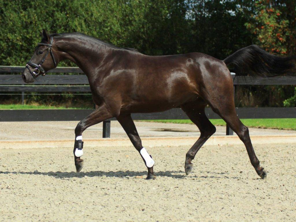 Dressage Stallion for Sale California