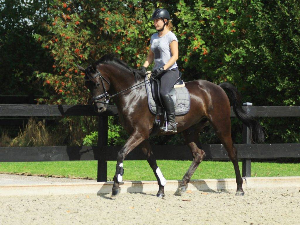 Dutch Dressage Gelding for Sale California