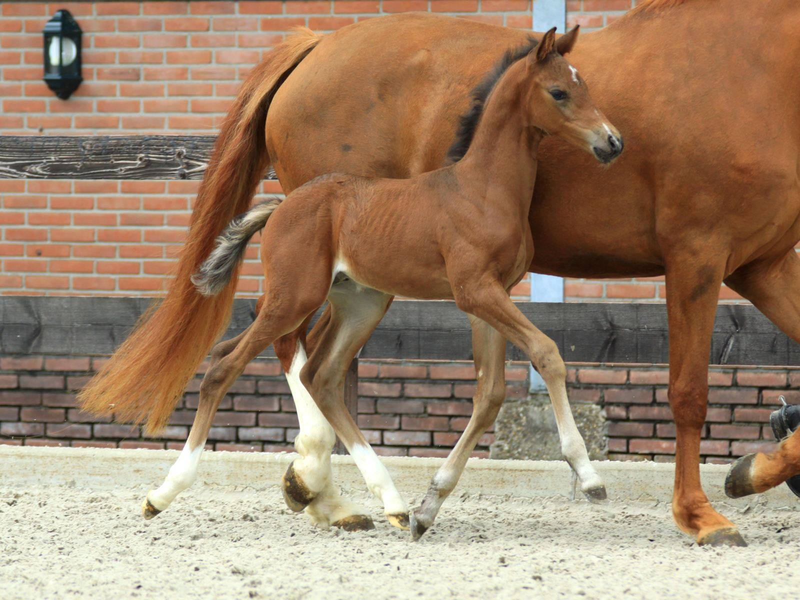 Foal and Young Horse by Glocks Zonik for Sale