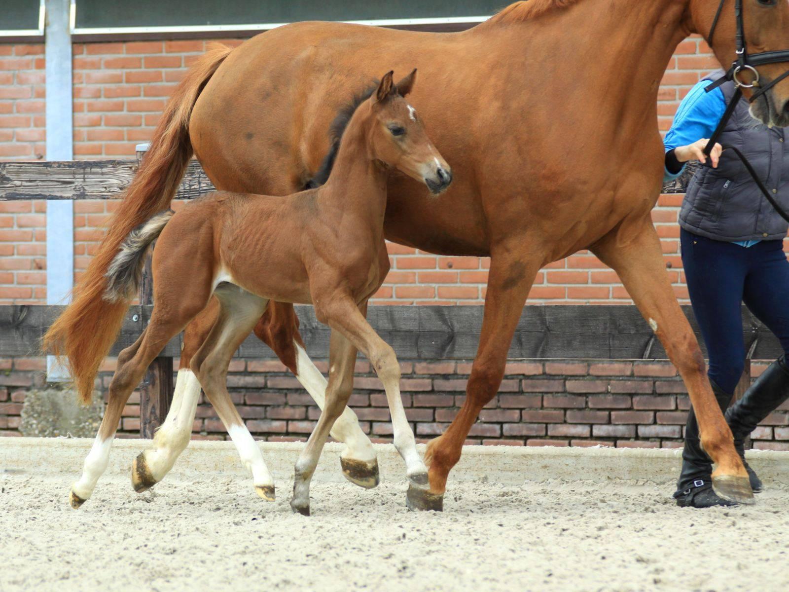 Dressage Foal for Sale Glocks Zonik