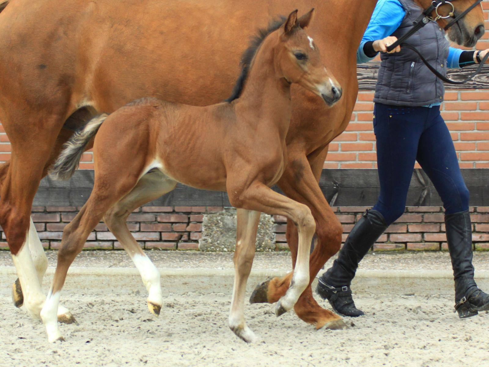 Young Stallion by Glocks Zonik