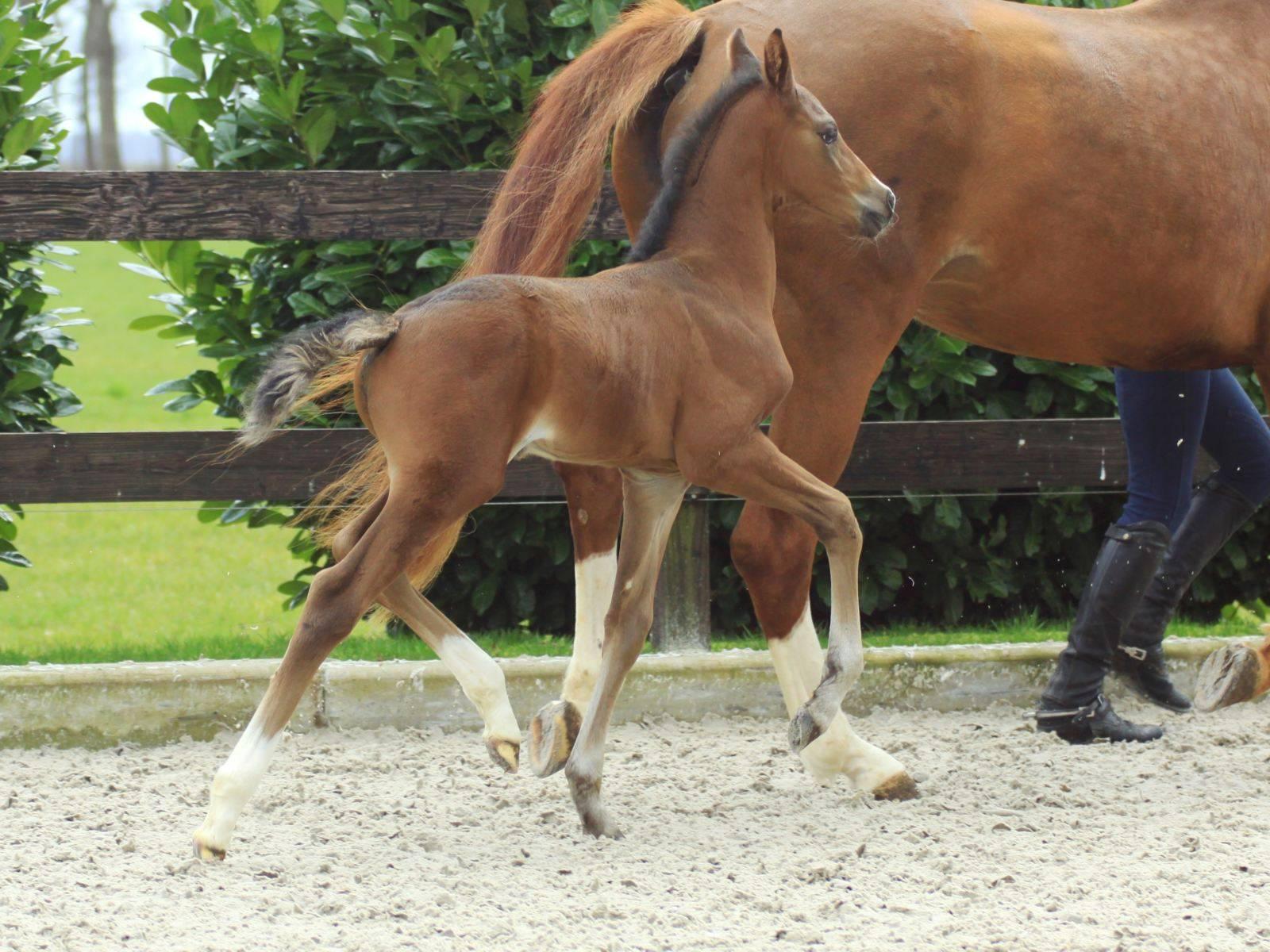 Stallion by Glocks Zonik for Sale