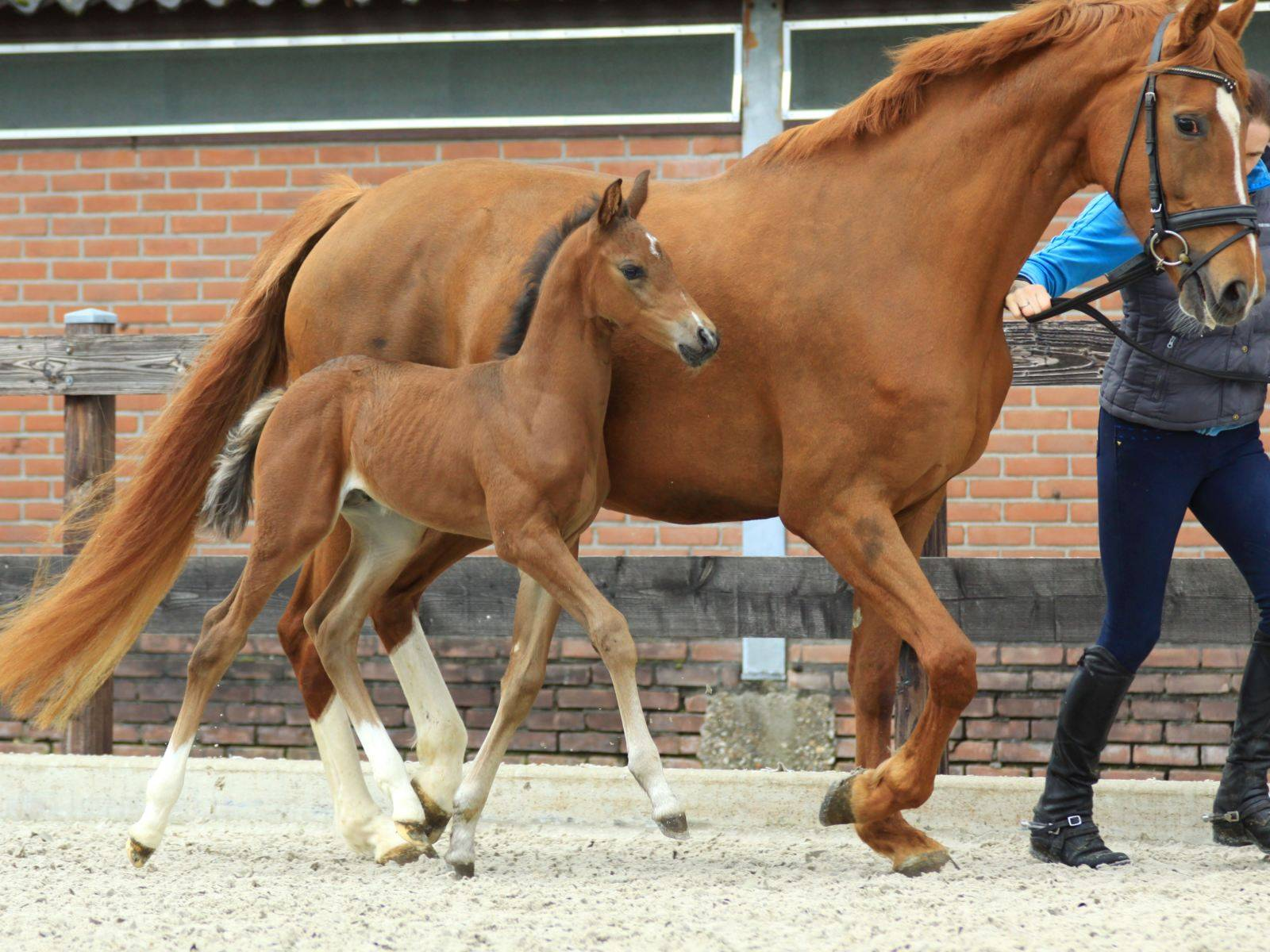 Young Dressage Horse Glocks Zonik for Sale