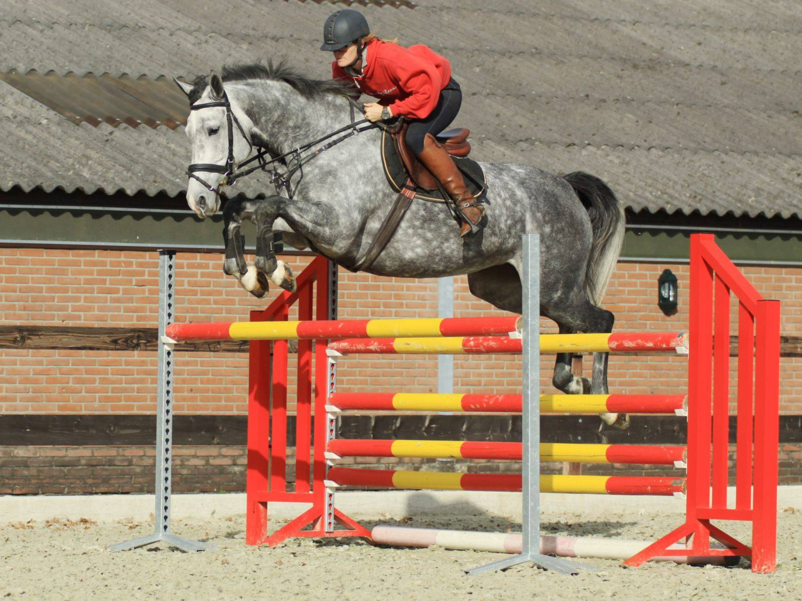 Show Jumping mare South Africa