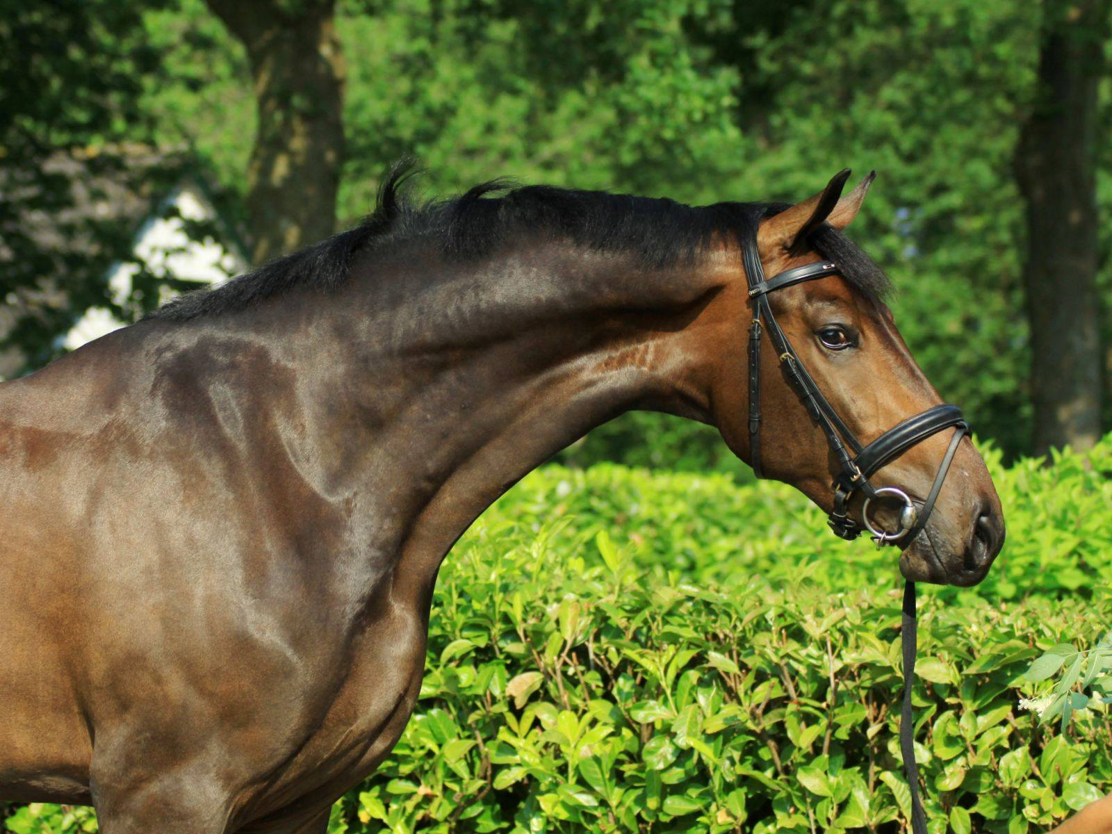 Dressage Horses for Sale in Holland