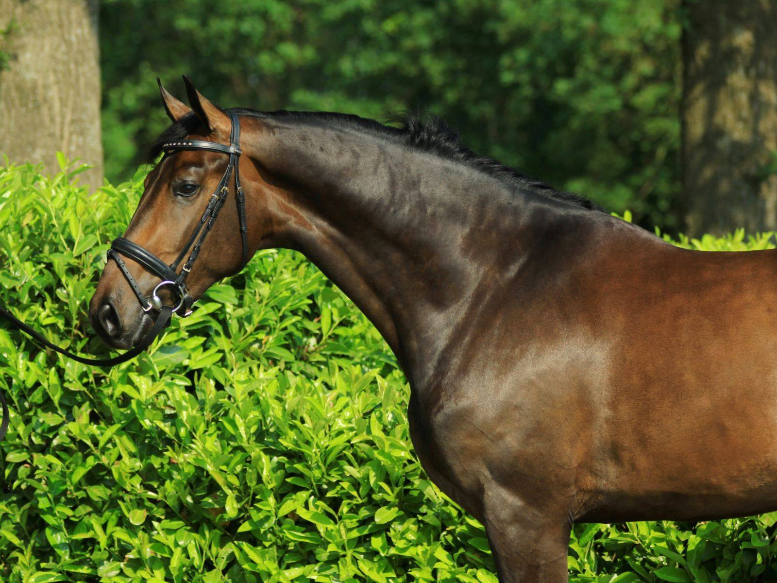Dressage Stallion for Sale Russia