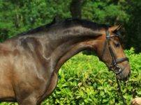Warmblood Horses Dressage Gelding For Sale Kefir