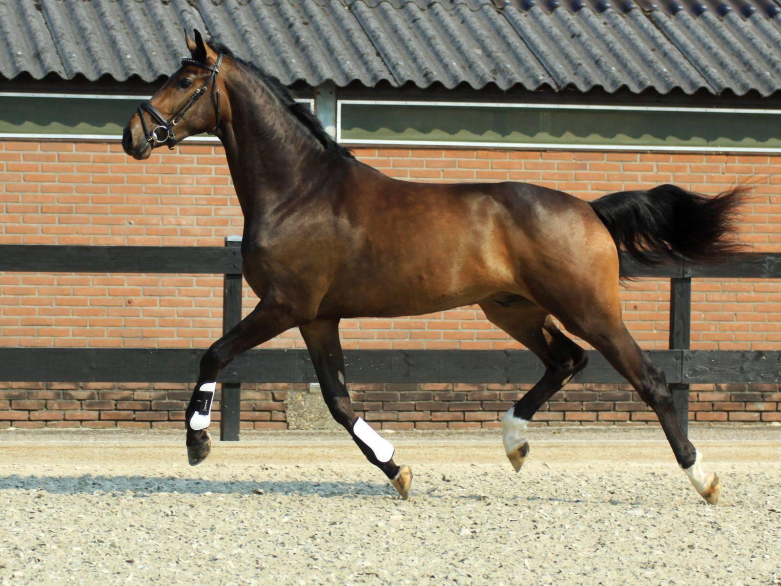 Dressage Horses Russia
