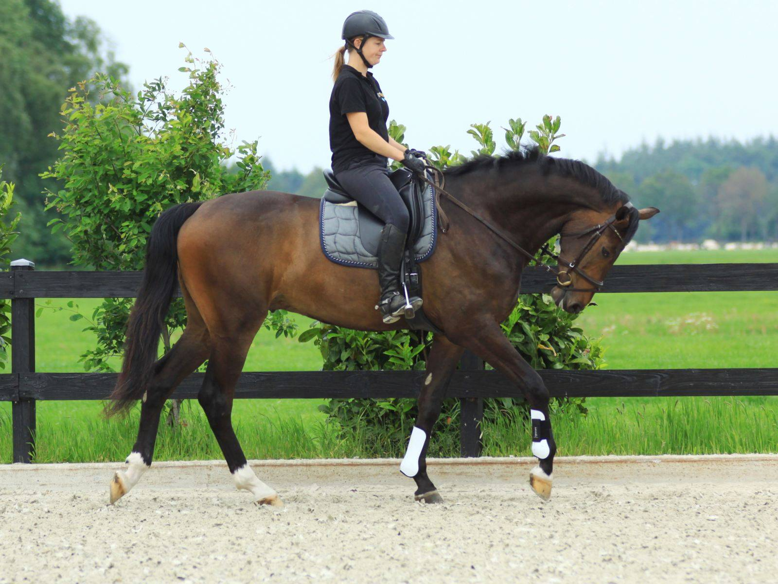 Dressage Warmbloods for Sale Russia