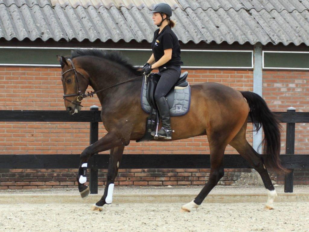 Dutch Warmblood Dressage Gelding For Sale Russia