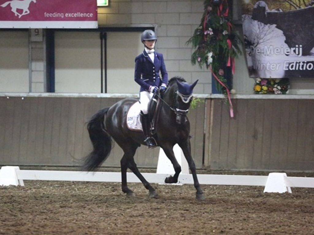 Dressage Ponies for Sale USA
