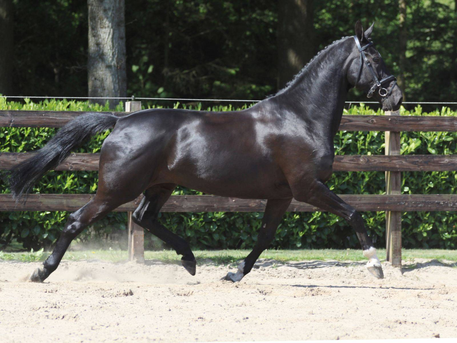 Dutch Warmblood Dressage Horses Holland