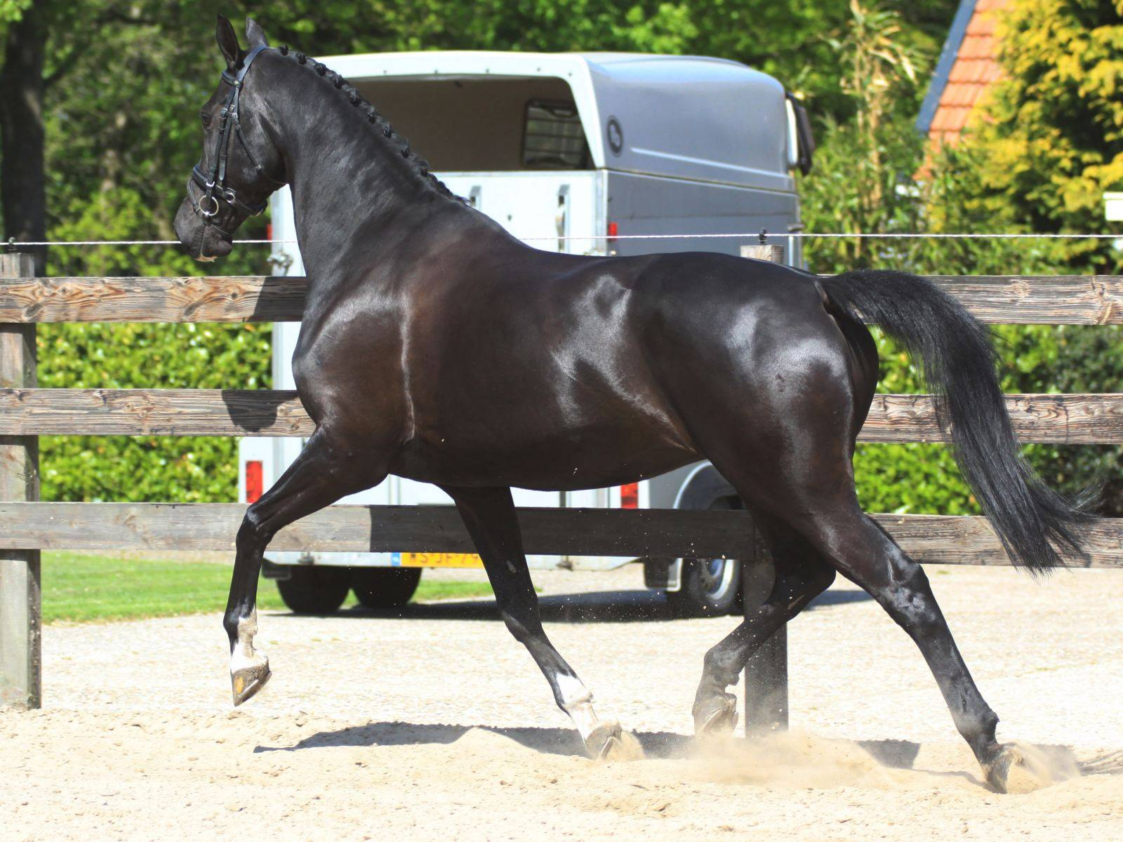 Dutch Warmblood Horse for Sale