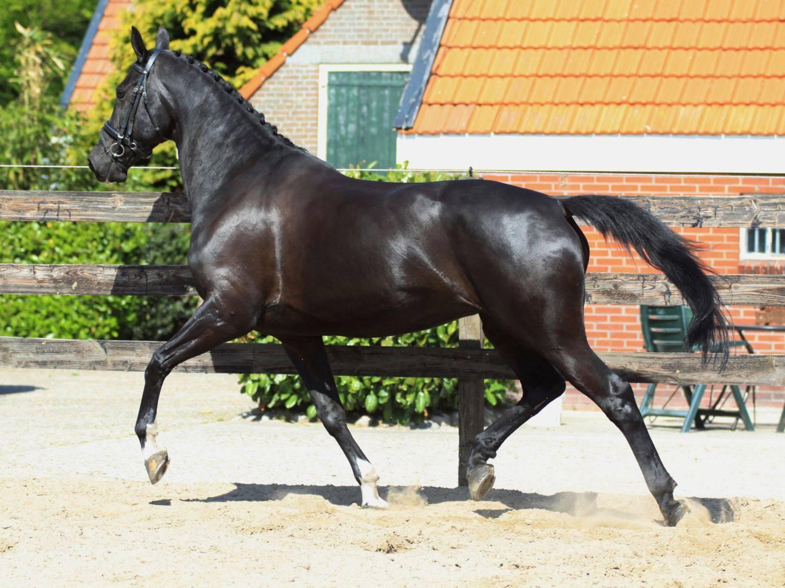 Dutch Warmblood Dressage Horses