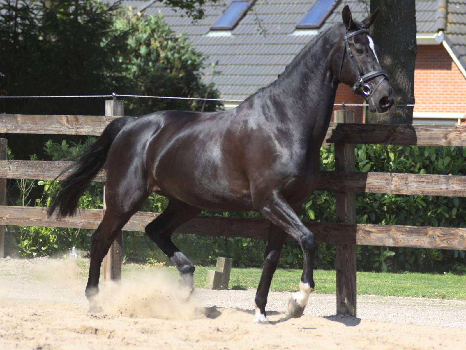 Dutch Warmblood Mare in Foal