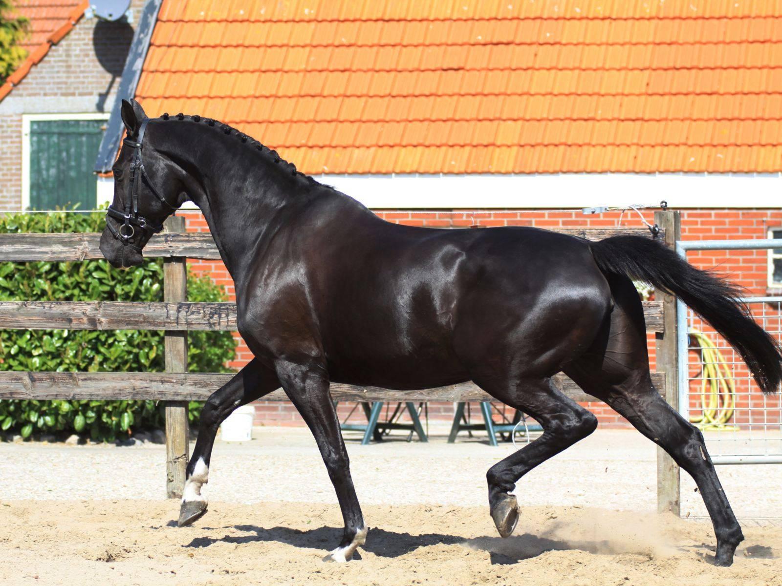 Warmblood Dressage Holland