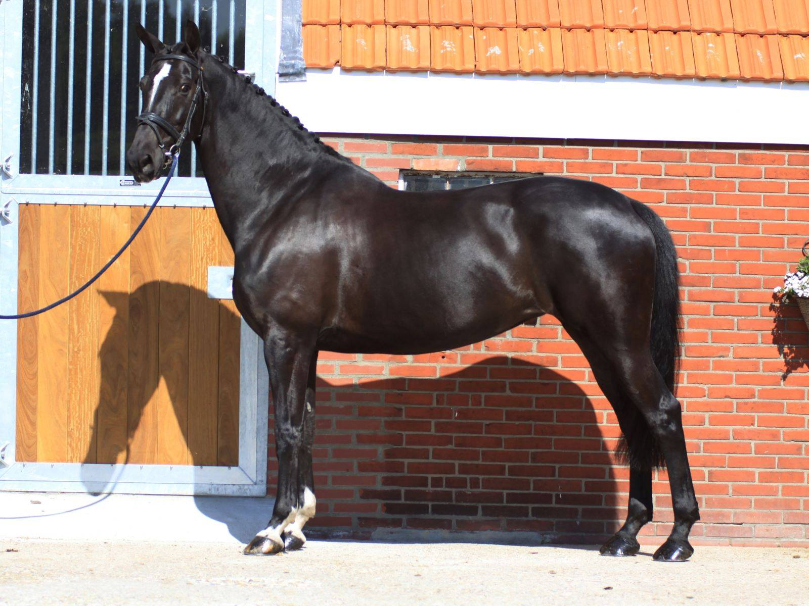Warmblood Dressage Horse