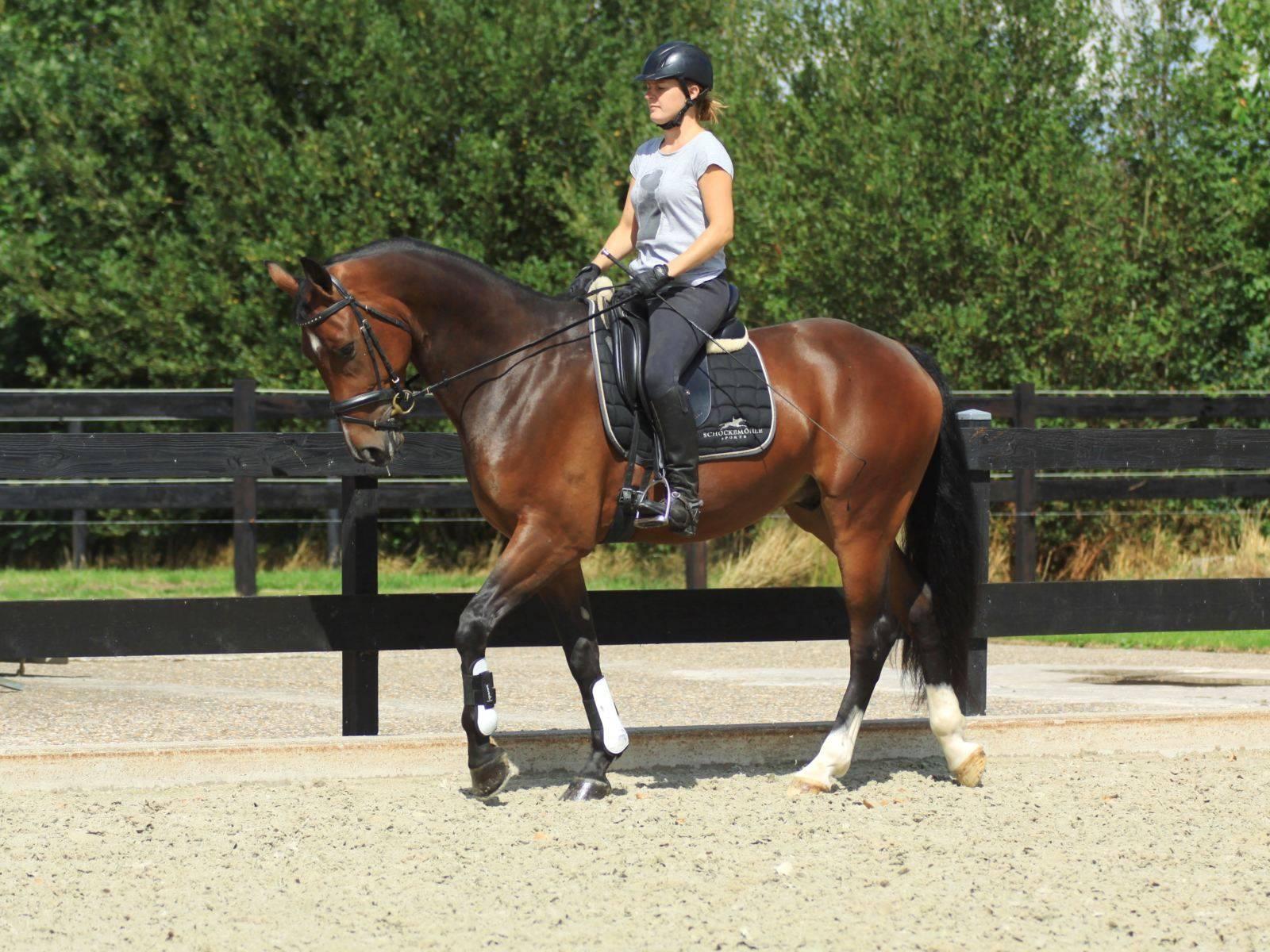 Dutch Dressage Horses for Sale New York