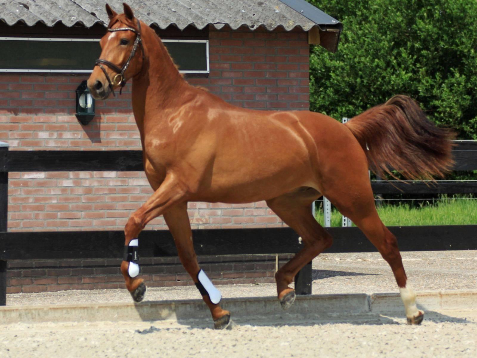 Dutch Warmblood Dressage Gelding for Sale
