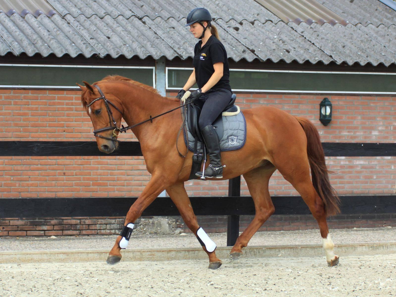 Dutch Warmblood Dressage Horse for Sale