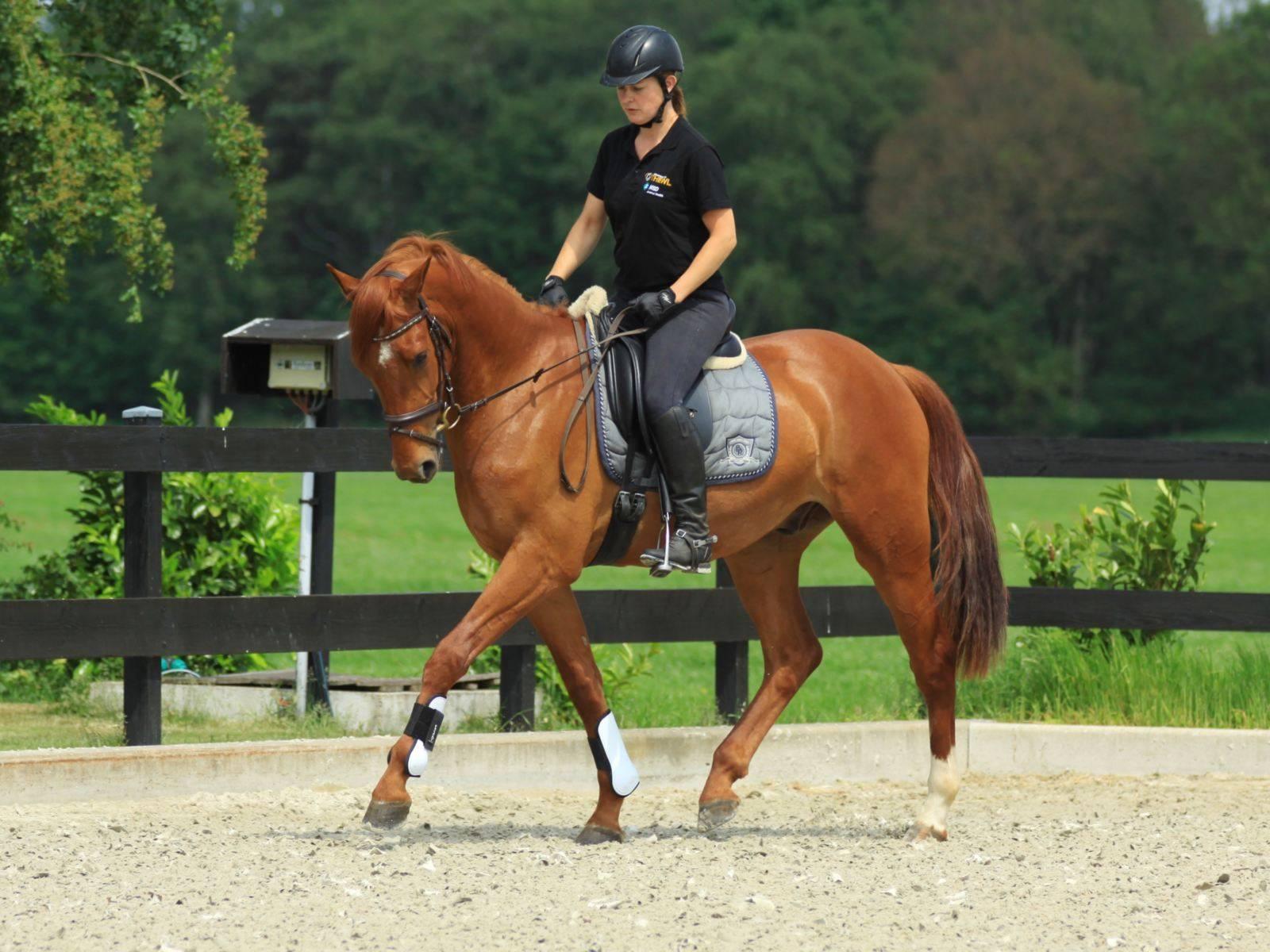 Dutch Dressage Gelding for Sale in the Netherlands