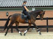 Warmblood Dressage Horses for Sale Holland