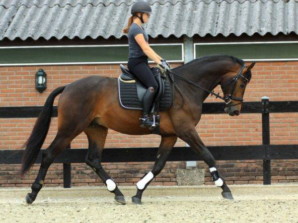 Dutch Dressage Warmblood Lamour Glamourdale x Jazz