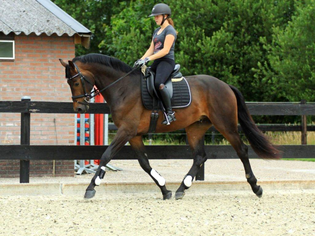 Dutch Dressage Horse for sale Glamourdale x Jazz California