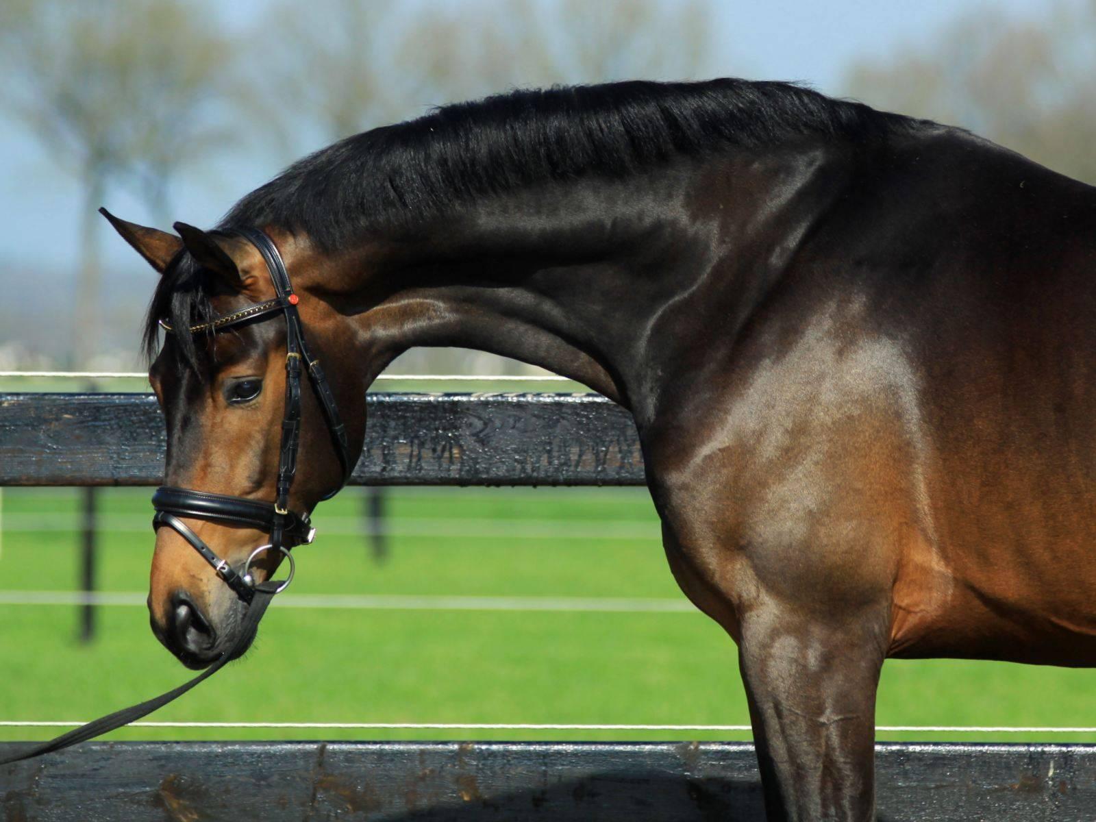 Dutch Dressage Horse for Sale California