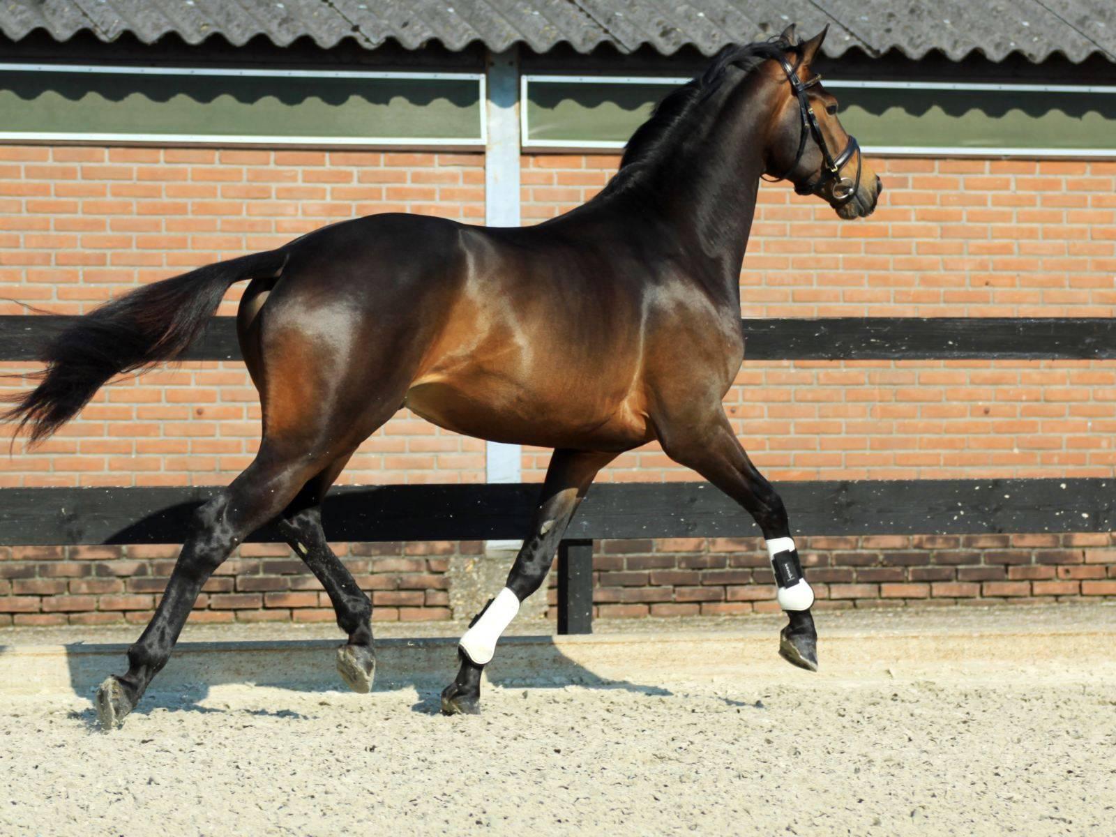 Warmblood Dressage Horse for Sale