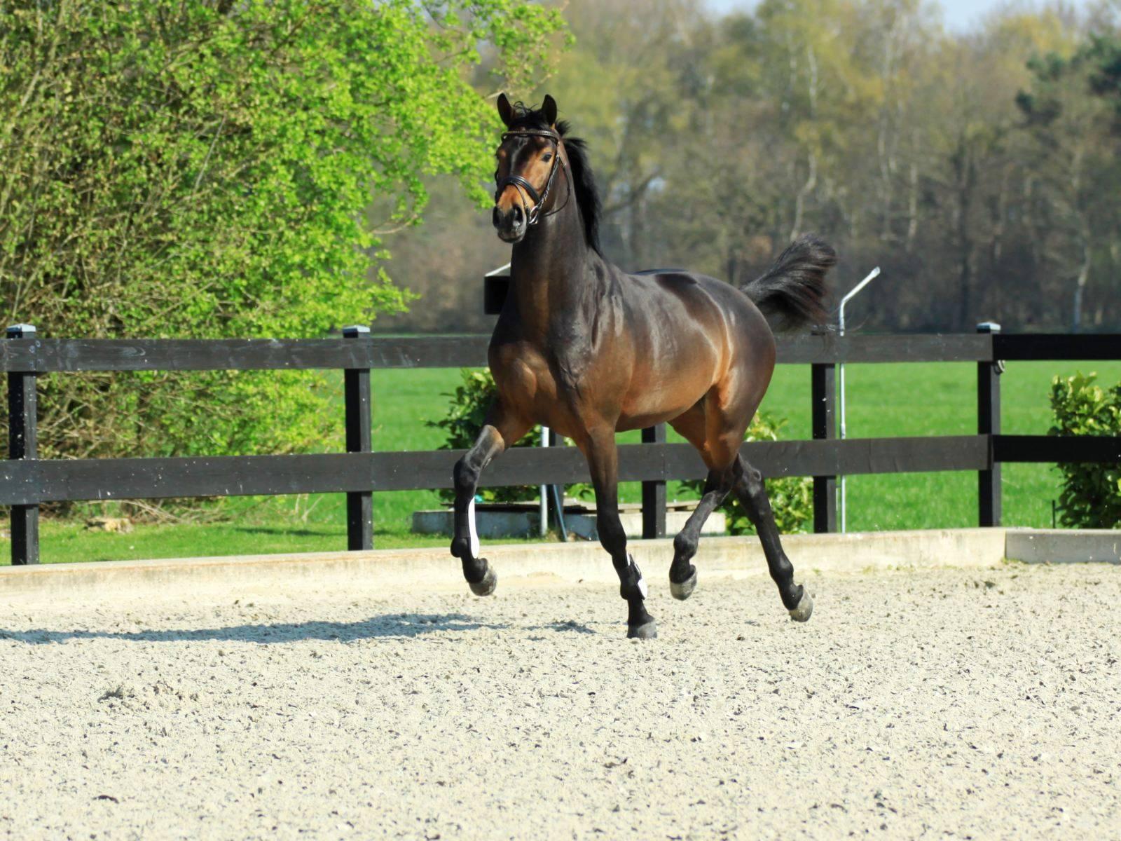Dressage Horses for Sale UK