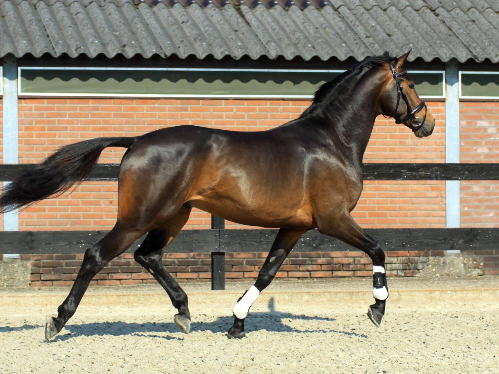 Dutch Dressage Horse for Sale USA
