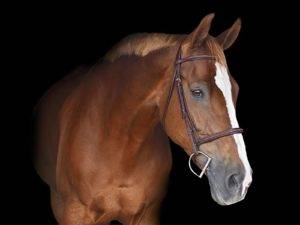 Equitation Horses for Sale in Holland