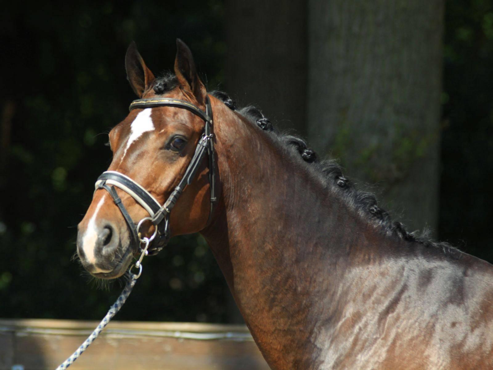 Dressage Horses for Sale California