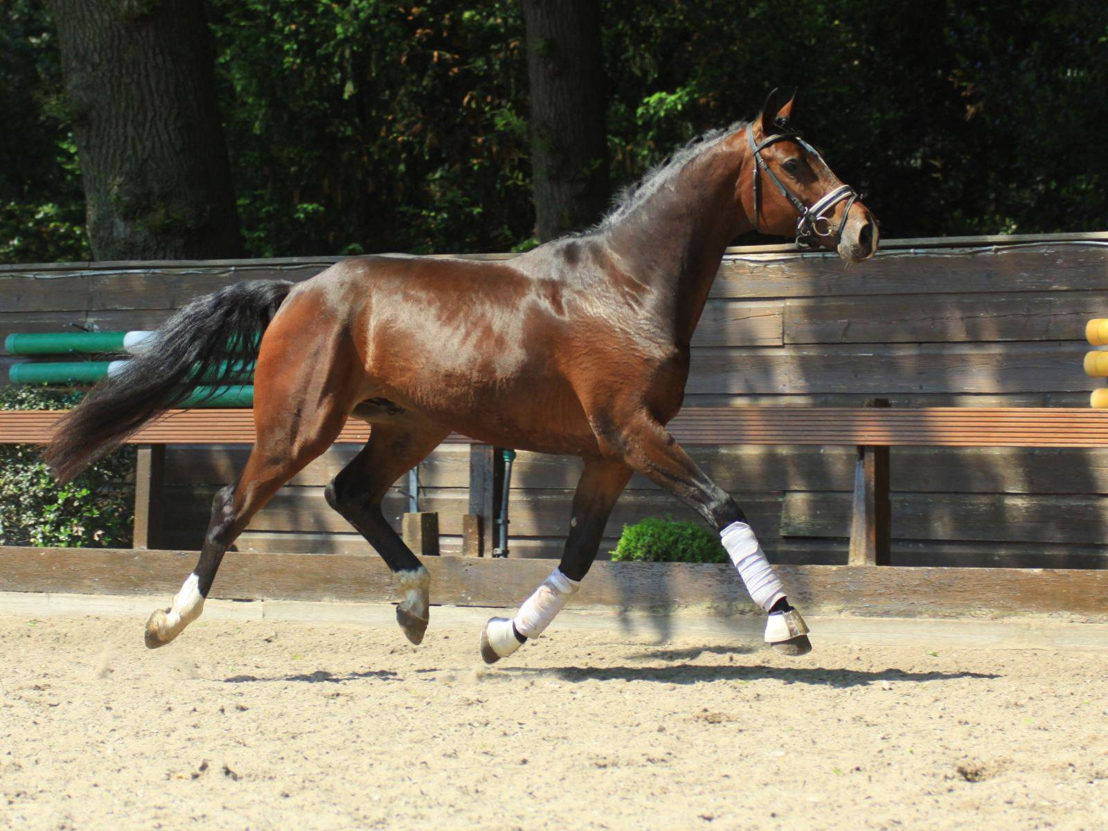 Warmblood Dressage Gelding for Sale California