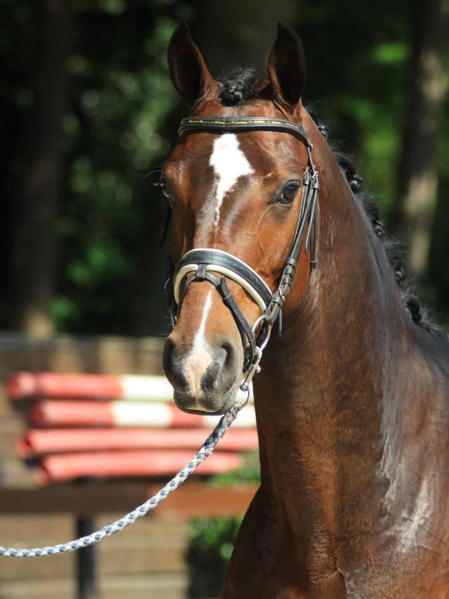 Warmblood Dressage Horses for Sale California