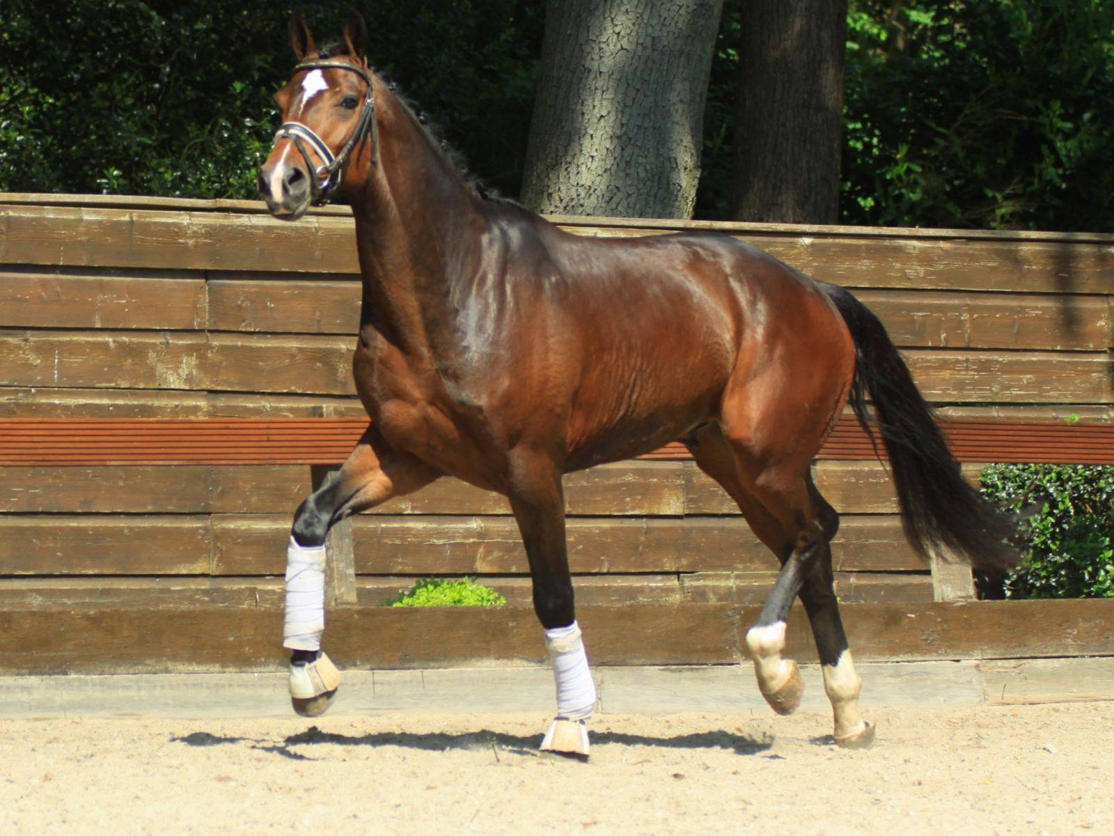 Warmblood Dressage Horses for Sale Arizona