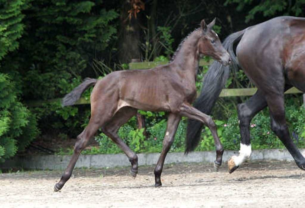 Dutch Warmblood Foal for Sale Wynton Ferro
